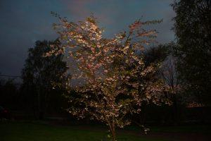 2016-05-19 Körsbärsträd i blom